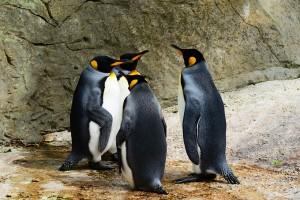king-penguin-384252_1280